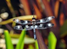 Free Black And White Dragon Fly Stock Image - 32192301