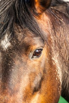 Free Horse Head Royalty Free Stock Image - 32195226