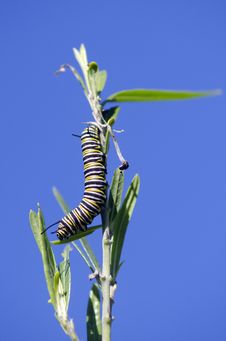 Free Monarch Butterfly Caterpillar Royalty Free Stock Image - 32195466