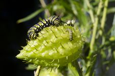 Free Monarch Butterfly Caterpillar Royalty Free Stock Photography - 32195637
