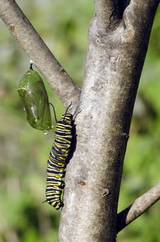 Free Monarch Butterfly Caterpillar Stock Images - 32196014