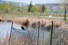 Free Yellow-headed Blackbird Xanthocephalus Xanthocepha Royalty Free Stock Photo - 32199875