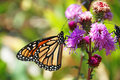 Free Monarch Butterfly Feeding Stock Photo - 3220610