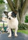 Free Chihuahua Dog 2 Royalty Free Stock Photos - 3224448