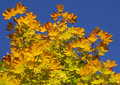 Free Leawes Of A Maple Royalty Free Stock Images - 3229009