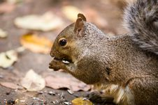 Free Hungry Squirrel Royalty Free Stock Images - 3221179