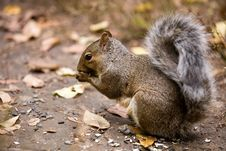 Hungry Squirrel Stock Images