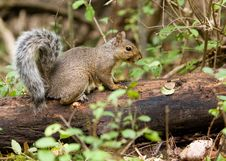 Free Squirrel In The Wild Royalty Free Stock Photo - 3221185