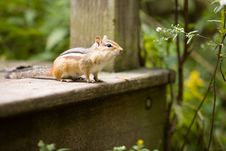Free Chipmunk On The Lookout Stock Image - 3221211