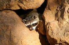 Free Funny Hidden Racoon Royalty Free Stock Photo - 3222825