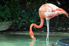 Free Flamingo Royalty Free Stock Photography - 3223547