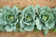 Free Cabbage Overhead View Stock Photography - 3223552