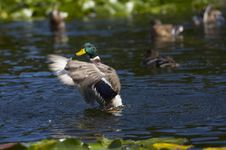 Free Duck In Water Royalty Free Stock Photo - 3223845