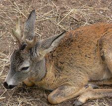 Free Roe Deer Royalty Free Stock Image - 3223986