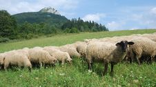 Free Sheep On The Pasture Stock Image - 3224401