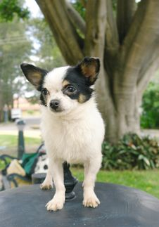 Free Chihuahua Dog 2 Royalty Free Stock Photos - 3224448