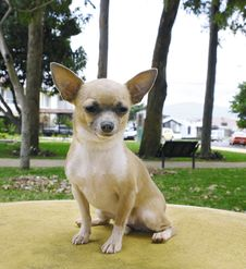 Free Chihuahua Dog 3 Stock Image - 3224451