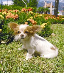 Chihuahua Dog 5 Royalty Free Stock Images