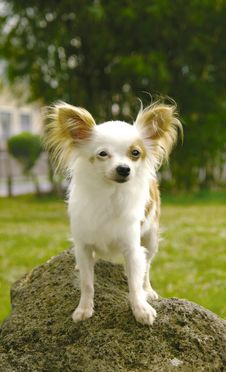 Free Chihuahua On Rock Stock Image - 3224611