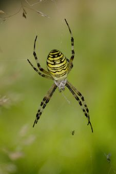 Free Wasp Spider Royalty Free Stock Photo - 3224965