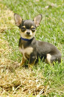 Free Chihuahua Puppy In Grass Stock Photos - 3225113