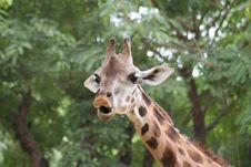 Free Talking Giraffe Royalty Free Stock Photos - 3225128