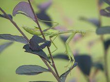 Free Mantis 2 Royalty Free Stock Image - 3225456
