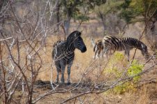 Three Zebras Stock Image