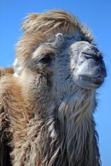 Free Camel Royalty Free Stock Photos - 3225878