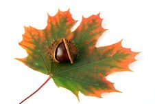 Free Chestnut And Autumn Leaf Stock Image - 3226241