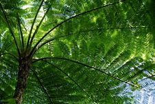 New Caledonia Fern Stock Images