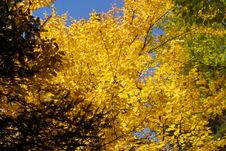 Yellow Leaves In Fall Royalty Free Stock Image