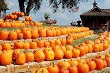 Rows Of Pumpkins Royalty Free Stock Image