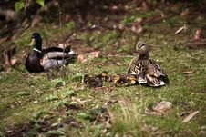 Free Young Ducking Babies Royalty Free Stock Photography - 3227807