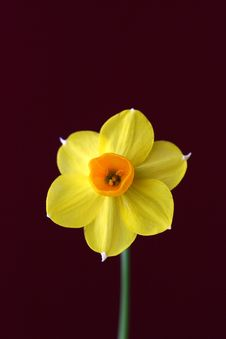 Free A Jonquil Stock Images - 3227894