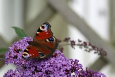 Free Butterfly On Lavender Flowers Royalty Free Stock Image - 3227916