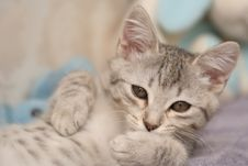 Sight Of A Small Grey Kitten Stock Photography