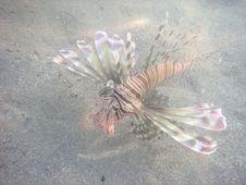 Free Angelfish Stock Image - 3229561
