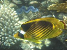 Free Angelfish Stock Photos - 3229563