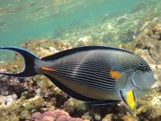Free Angelfish Royalty Free Stock Images - 3229569