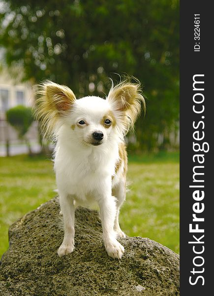 Chihuahua on rock