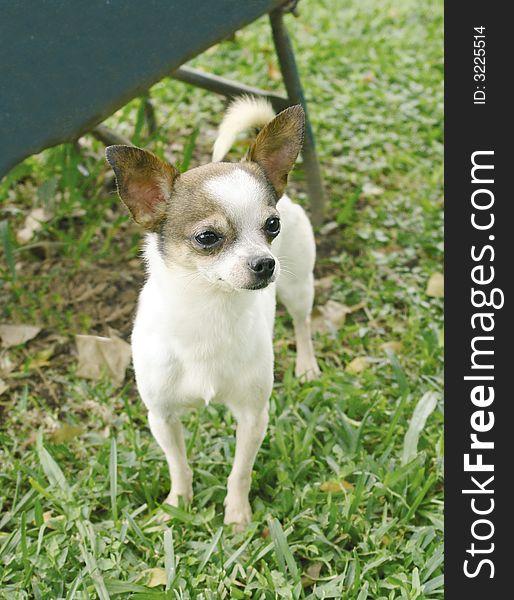 Chihuahua dog 7