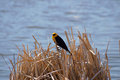 Free Yellow-headed Blackbird Xanthocephalus Xanthocepha Stock Photo - 32200080