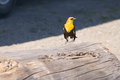 Free Yellow-headed Blackbird Xanthocephalus Xanthocepha Stock Images - 32200114