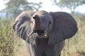 Free Angry Elephant Royalty Free Stock Photos - 32203018