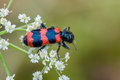 Free Striped Beetle Stock Photo - 32209920