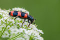 Free Striped Beetle Royalty Free Stock Image - 32209946