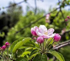 Free Flower Of Apple Royalty Free Stock Images - 32201319