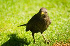 Free Female Blackbird Stock Photo - 32203410
