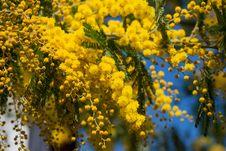 Free Mimosa Royalty Free Stock Image - 32206176